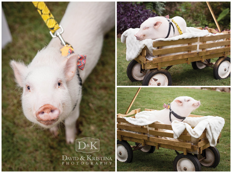 pig in wagon at wedding